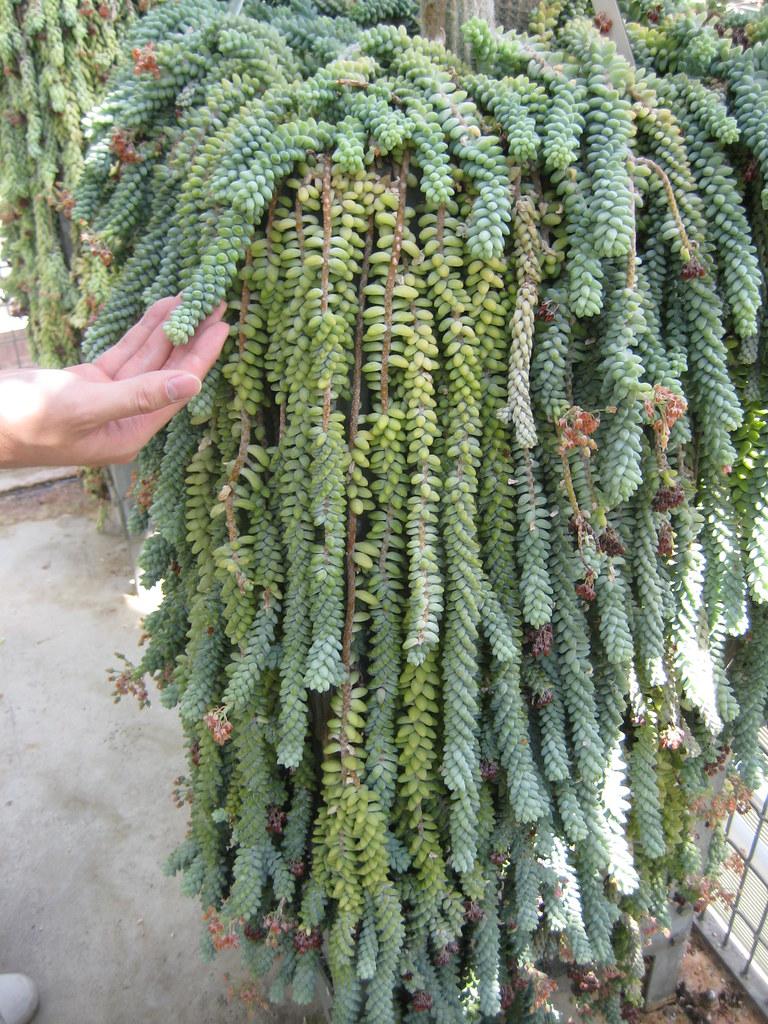 how to grow sedum morganianum
