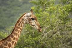 Elegance Defined - South African Giraffe - UPDATE | by Sheree (Here intermittently)