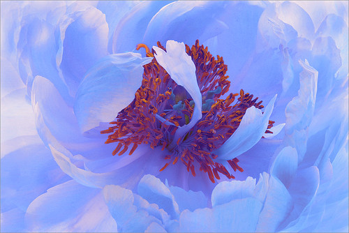 Blue Flower | by Bahman Farzad