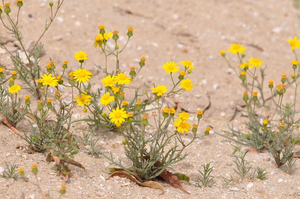 Yellow Wild Flower This Wild Flower Will Grow In Winter