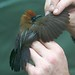 Fluffy-backed Tit-babbler (Macronous ptilosus)