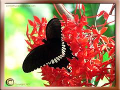 017. Common Mormon Butterfly on Rangon . Red Ixora coccinea