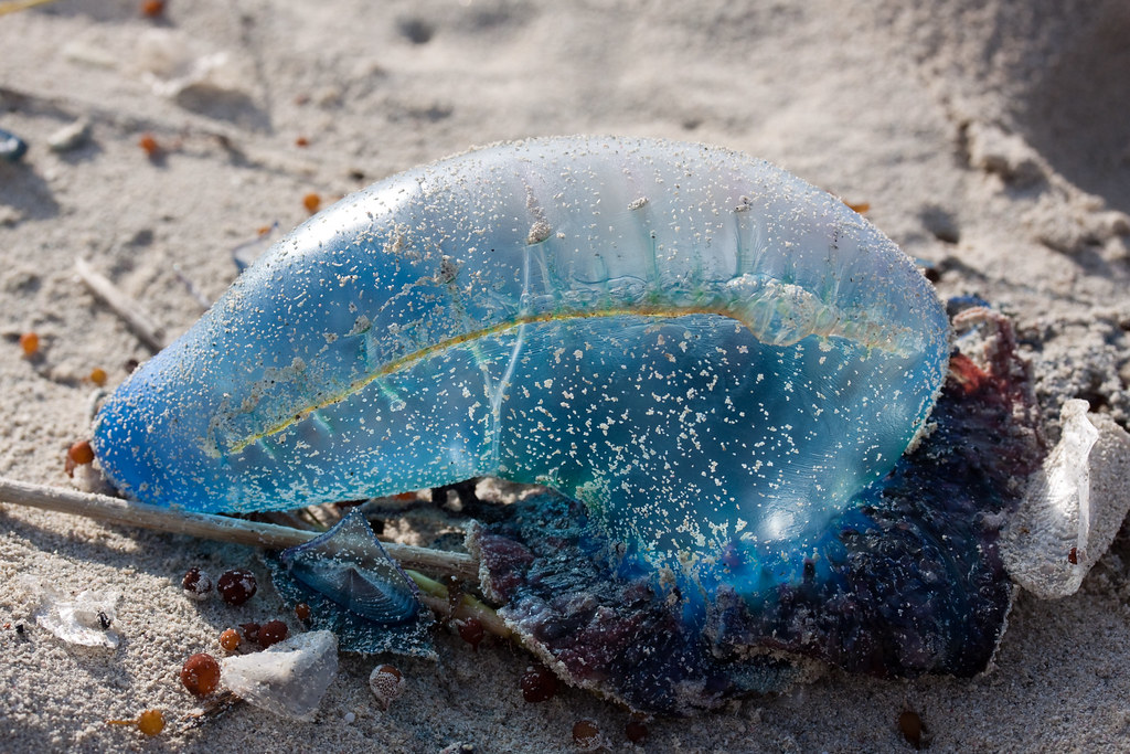 varadero balloon jellyfish- deadly btw :) | I accidently ...