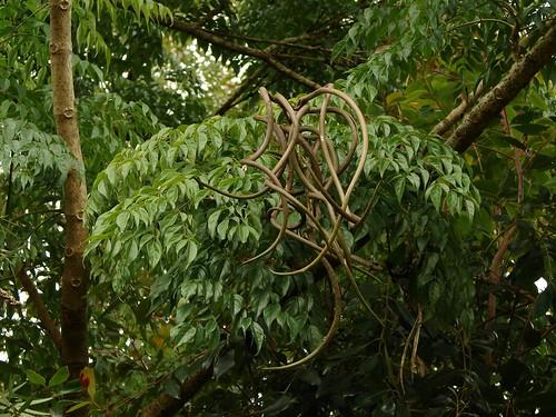 radermachera sinica quotchina doll treequot seedpods flickr