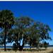 Myakka River State Park Trees Palm Oak Blue Sky Lake