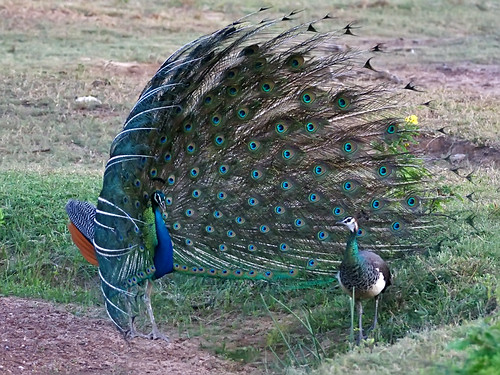 Indian Peafowl (Pavo cristatus) - the Quintessential Peacock | by David Cook Wildlife Photography