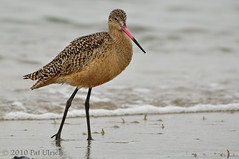 Marbled godwit at Pillar Point (2of2) | by Pat Ulrich