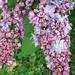 Syringa vulgaris 'Naudin'