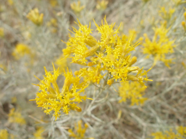 Gray Rabbitbrush