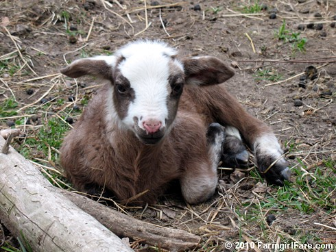 Random Lamb Cute 1 | by Farmgirl Susan