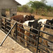 cattle-farming-mcf-2
