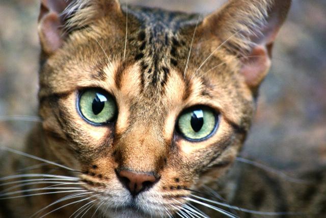 Snow Leopard Bengal Cat For Sale