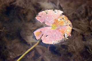 Dead Leaf In Water | by The Webhamster