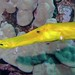 Trumpetfish profile