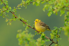 Yellowhammer; Emberiza citrinella | by m. geven