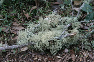 Usnea sp. (possibly Usnea baileyi) | by Arthur Chapman