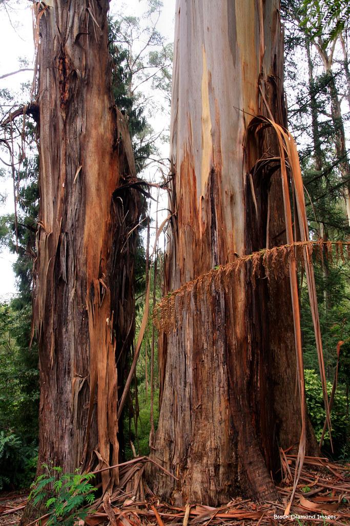 Eucalyptus regnans essay