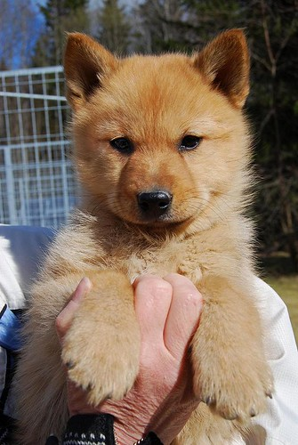 Finnish Spitz Puppy   Some puppies I had the pleasure of ...