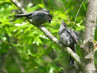 Gray Catbirds displaying 2-20100516 | by Kenneth Cole Schneider