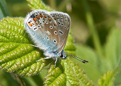Common Blue Butterfly - Mini Beauty | by Ashley Cohen Photography