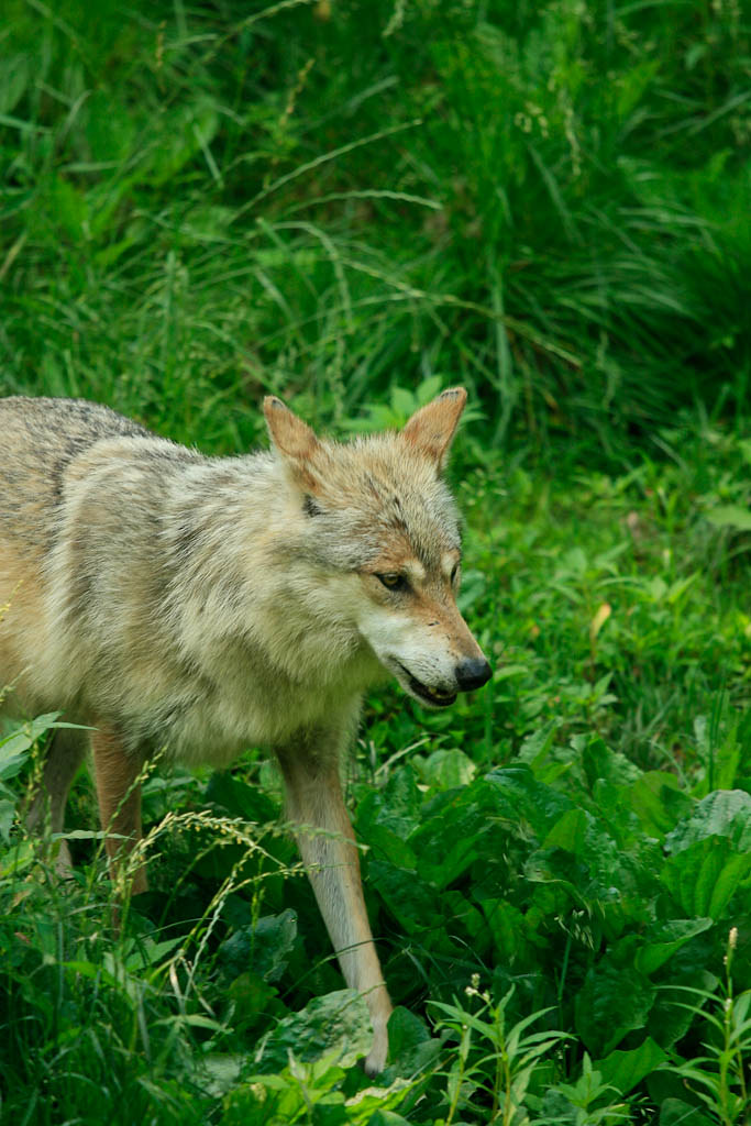 Image Result For A Wolf At