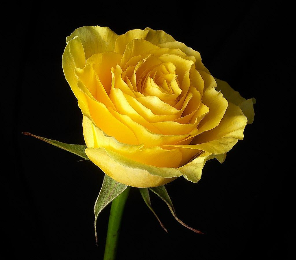 Wallpaper Yellow Rose Flower A Beautyful Yellow Rose Flowe Flickr