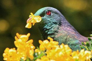 Kereru (New Zealand Pigeon, Hemiphaga novaeseelandiae) feeding on spring blossoms of Montpellier broom (Teline monspessulana) | by Steve Attwood