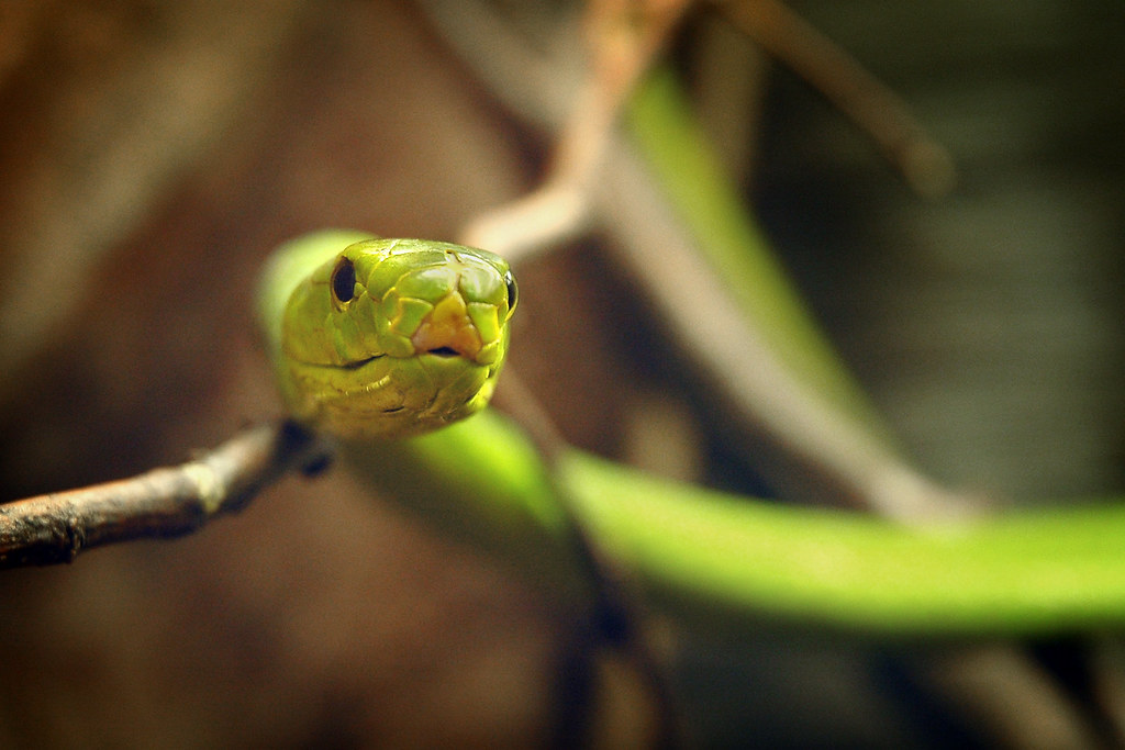 ... SDNHM Open House48 10-15-10 Eastern Green Mamba | by PACsWorld