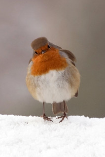 Robin - Erithacus rubecula | by HappySnapper_1