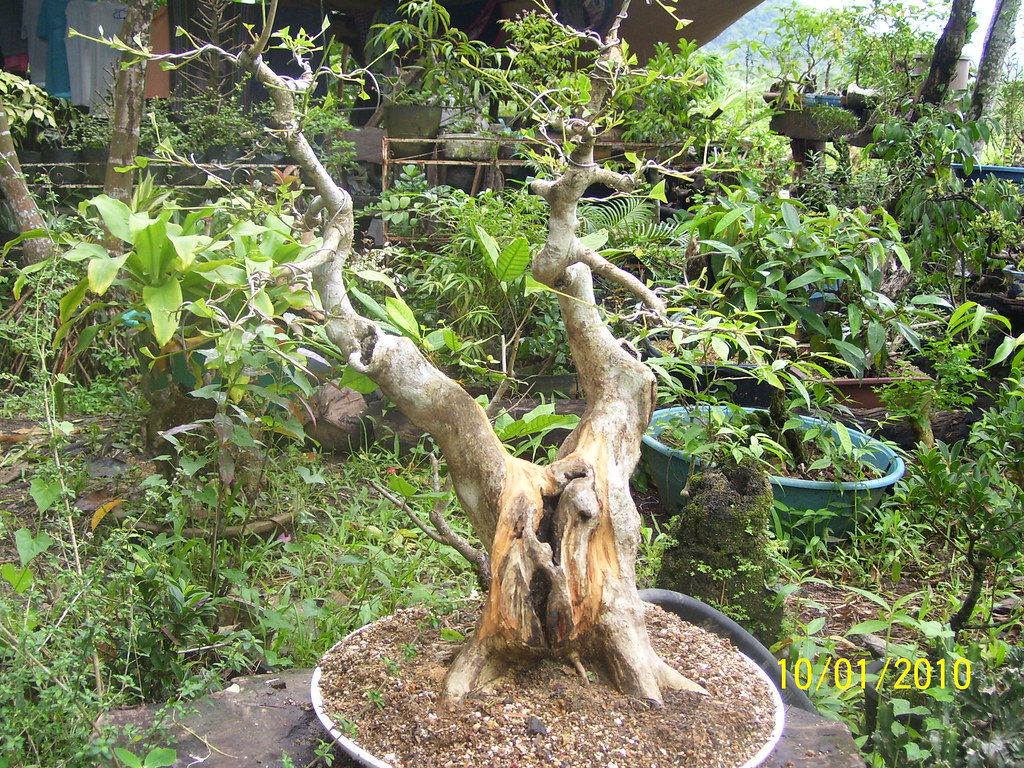 What is a molave tree?