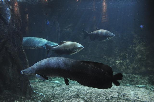 Amazon Fish Flickr - Photo Sharing!