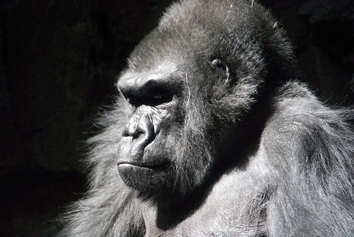 Gorilla | by Katy Silberger