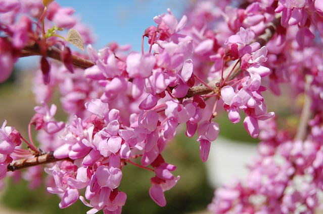 lavender tree40110 91365 beautiful lavender