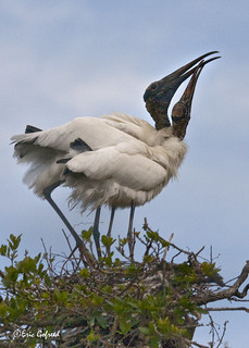 Wood Stork _8259 | by Eric Gofreed