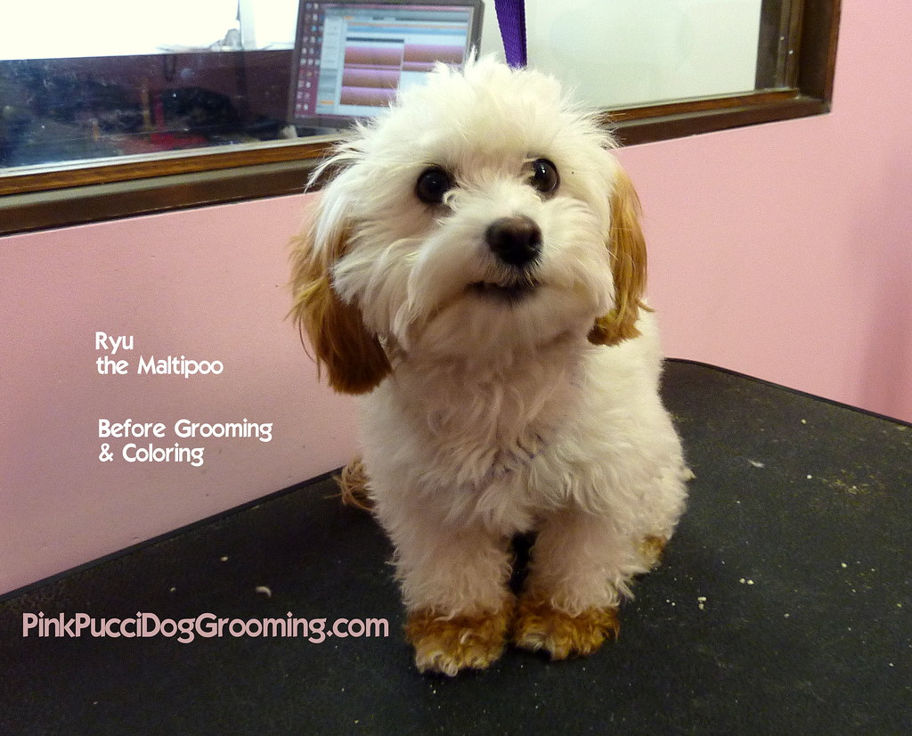 Maltipoo Grooming Styles Maltipoo Haircuts Styles