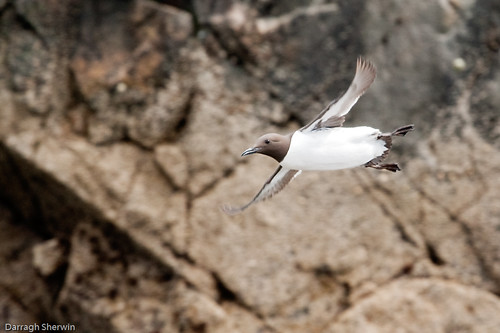 Common Guillemot in Flight | by Darragh Sherwin
