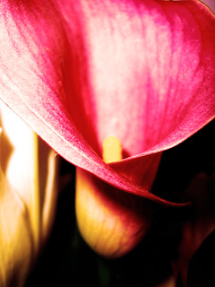 Calla Lily | by SharleenePhotography