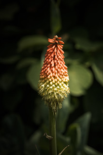 Red-Hot Poker (Tritoma) | by Mason Sklut