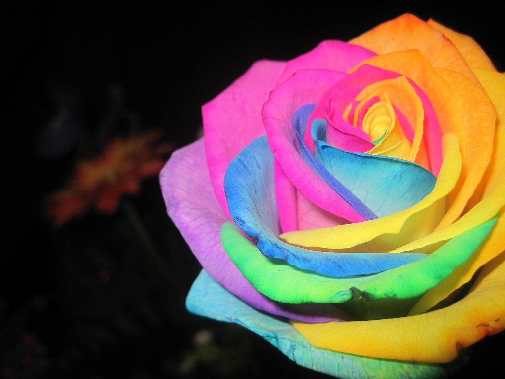 Rainbow roses are hard to find rainbow rose for Where to buy rainbow roses