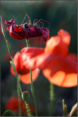 spider on a dead poppy | by renatela