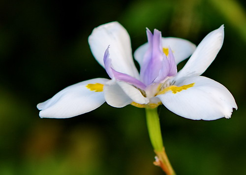 2010-11-11 05-12-28 - IMG_9915 White and lilac flower - Dietes grandiflora | by Degilbo on flickr