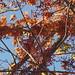 Autumn leaves in Davis (2)
