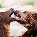 Fighting bears