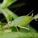 豌豆蚜 Pea aphid (Acyrthosiphon pisum)