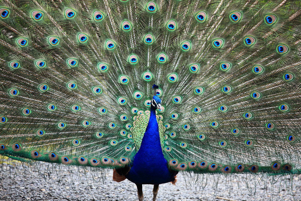 Images Of Peacock Feather Paintings