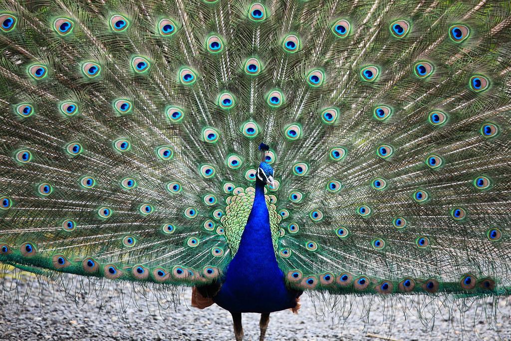 indian peacock pavo cristatus ������������ amabikika