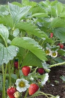 Organic Strawberry Plants | by Cascadian Farm