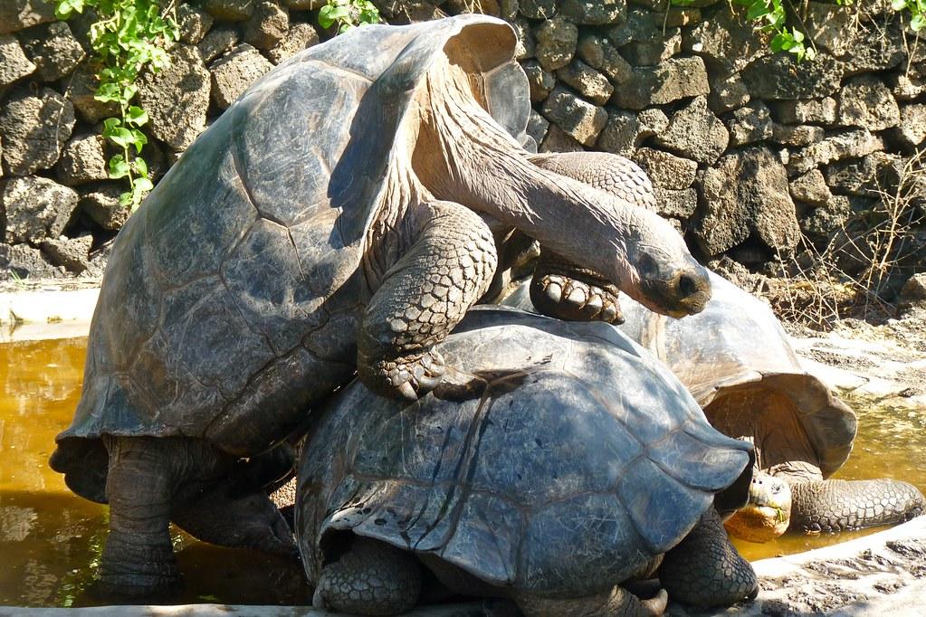 Tortoise Sex 73