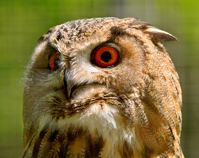 Owl with almost red eyes