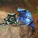poison dart frogs at Maritime Aquarium
